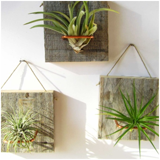 Air Plants Tillandansia