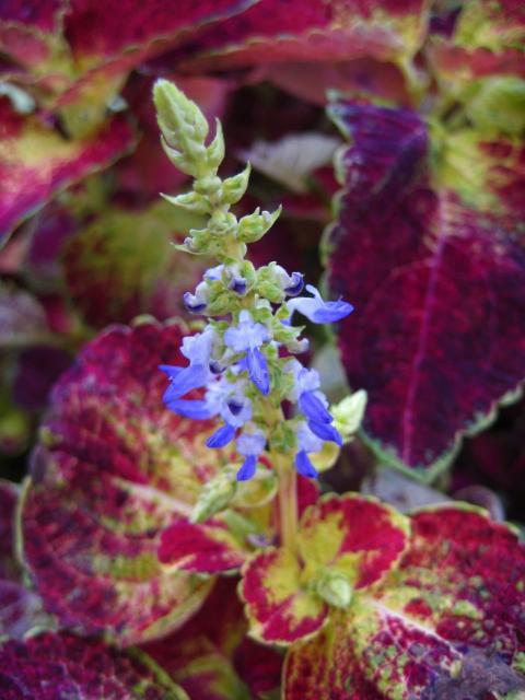 the hummingbird forum coleus for hummingbirds??, Beautiful flower