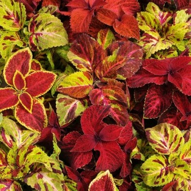 Coleus Wizard Select Mix