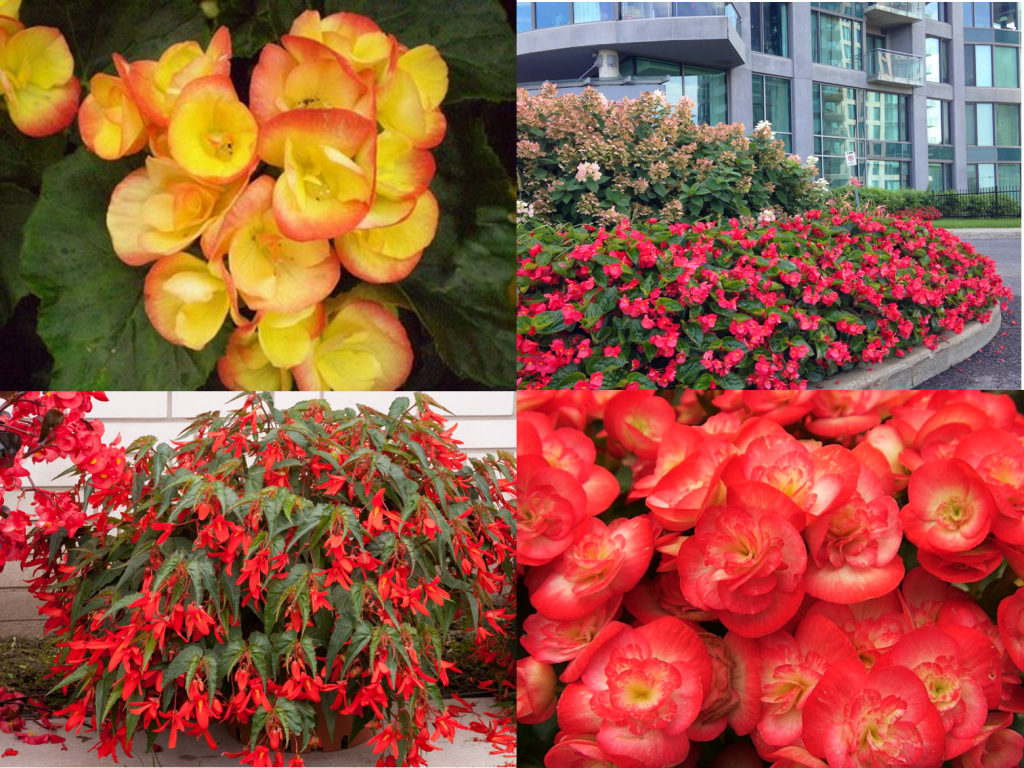 Reiger, Whopper and Santa Cruz Begonias