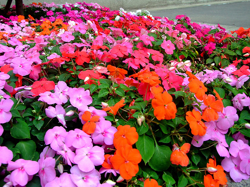 Impatiens walleriana Mix