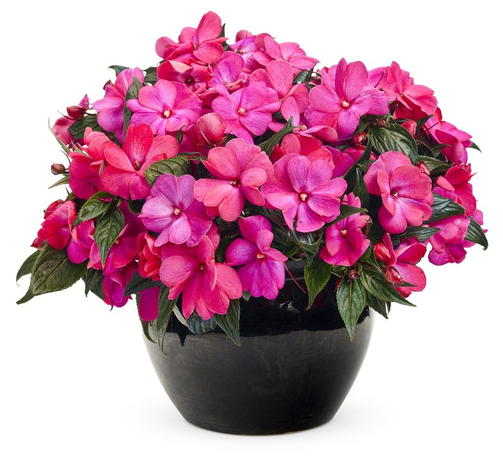 New Guinea Impatiens