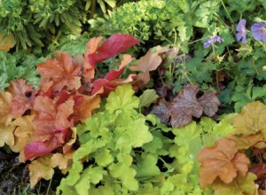 Combination of Heuchera Varieties