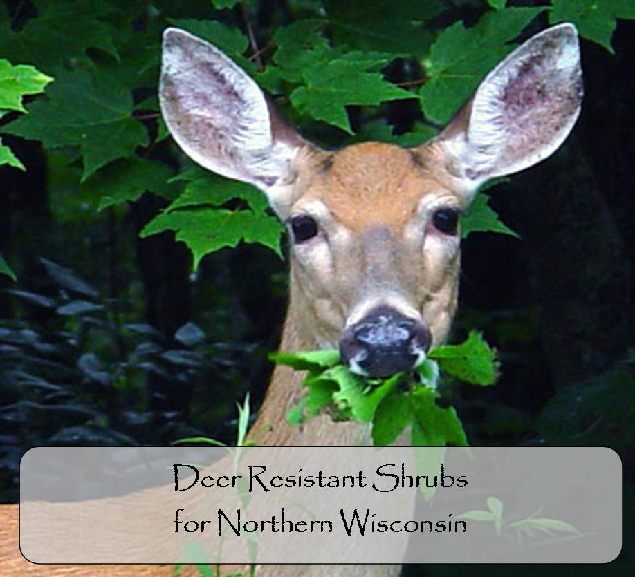 Deer Resistant Shrubs for Northern Wisconsin