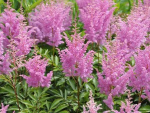 Pink Visions Astilbe