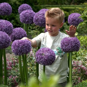 Allium_Gladiator_Bulbs