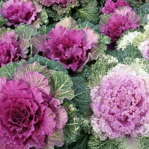 winter-color-kale-m